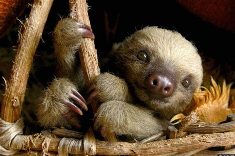 sloths as pets two toed sloth pet www imgkid com the image kid has it