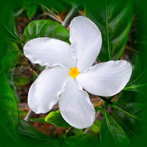 images  bunga melati  pinterest duke
