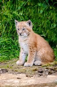 Cub Eurasian Lynx