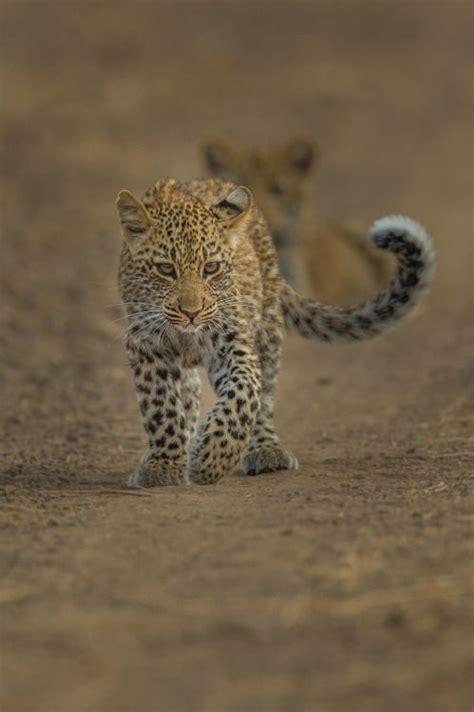 images  baby predators jaguars leopards