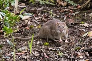 Ratten Im Kompost : anlocken von m usen und ratten vermeiden m use fangen ~ Lizthompson.info Haus und Dekorationen