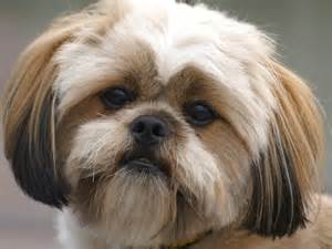 breed lhasa apso and miniature dachshund dog breeds picture