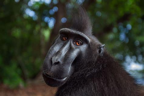 Old World Monkeys Cercopithecidae