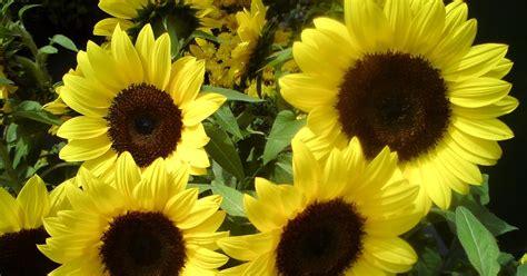 jom tanam bunga menanam pokok bunga matahari