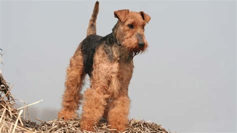 welsh terrier information characteristics facts names