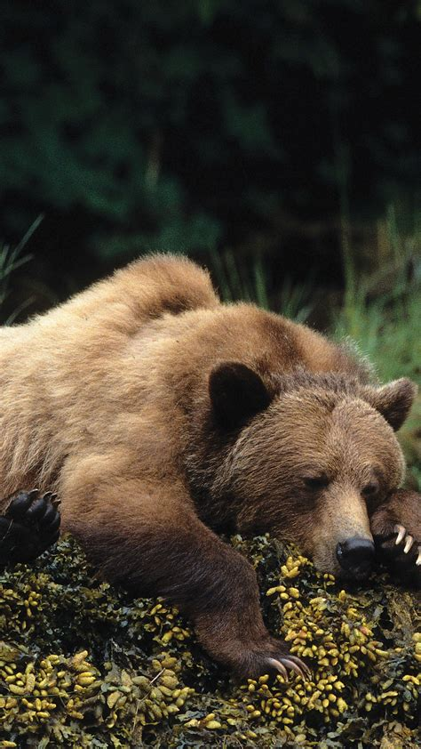 Wallpaper bear cute animals sleep 4k Animals #16106