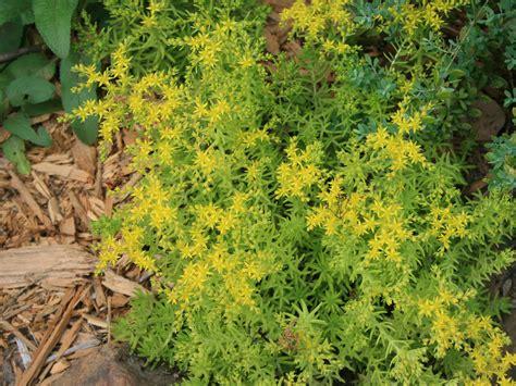 succulent lemon sedum thrive  sunny locations