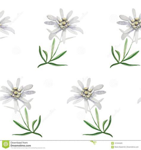 edelweiss fiore alpino insieme di logo della germania delle alpi di alpinismo di