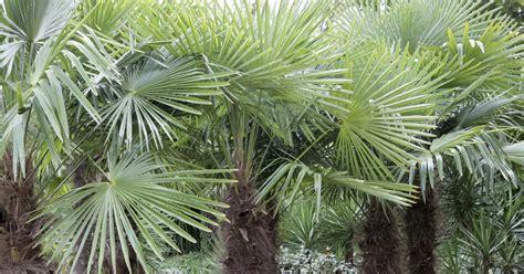 Palmen Im Garten Winterfest Machen by Hanfpalme Der Richtige Winterschutz Mein Sch 246 Ner Garten