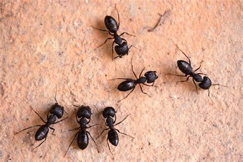 ants in kitchen how to get rid of tiny black ants in my kitchen how to