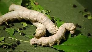 Silkworms Eatin... Silkworm