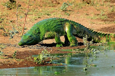 what color are crocodiles crocodile looks like a as it emerges from lake