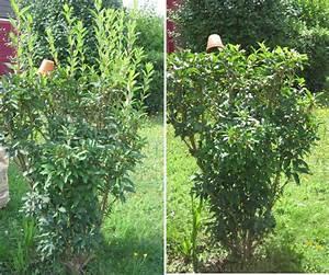 Quand Tailler Les Arbustes De Haies : 26 2 quand tailler les arbustes fleurs le ~ Dode.kayakingforconservation.com Idées de Décoration