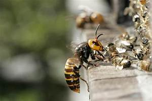 Experts Confirm Deadly Asian Hornet Has Arrived In Uk