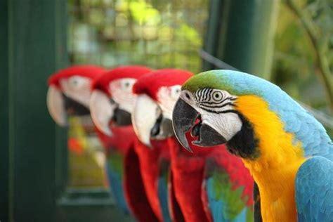 differences  male  female parrots