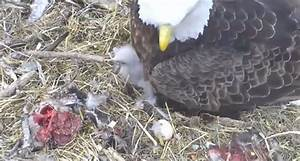 Bald Eagles Adopt Duck Egg After Eating Mother [VIDEO ...