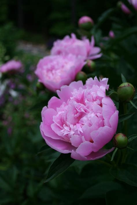 grow peony tips for successfully growing peonies