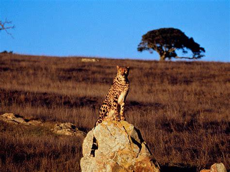 wallpapers cheetah wallpapers
