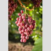 grapes-nutrition-facts