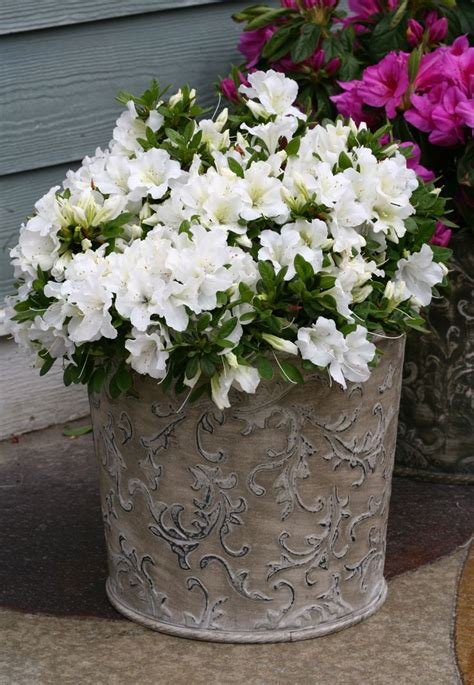 shade flowers for pots 47 best images about shrubs for containers on pinterest