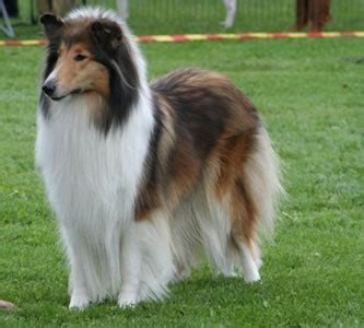 Rough Collie Breeders Breed Clubs And Rescue