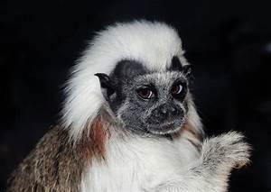 Cotton-top Tamarin Monkey Eating