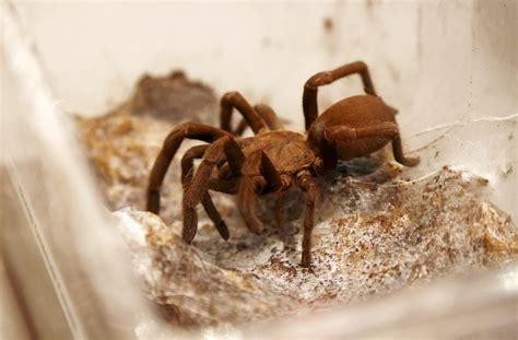 Kambodžā apdraudēti uzkodās iecienītie tarantuli / Raksts ...
