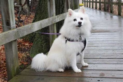 American Eskimo Shedding by American Eskimo Small Breed Profile