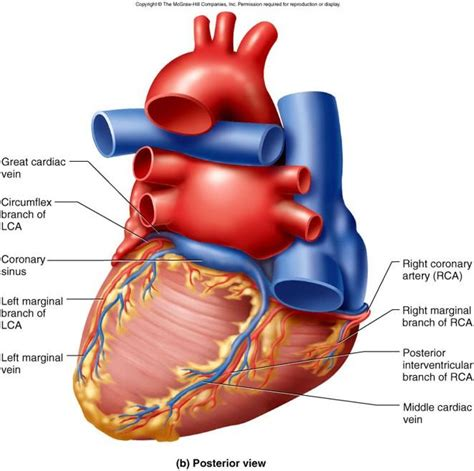 Blood, the heart and the vessels that carry blood around the body together make up the cardiovascular system. Circulatory System - Anatomy & Physiology 1224 with Rooney ...