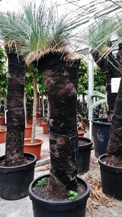 boy kaufen xanthorrhoea glauca grasbaum black boy kaufen