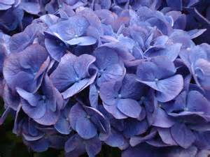 Blue and Purple Flower Names