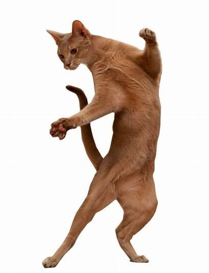 Cat Standing Dancing Transparent Dance Imgur Animal