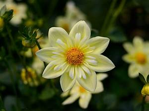 Dahlia Yellow Flowers High Quality Flower Wallpaper For Desktop Computers Hd Wallpapers For 4k