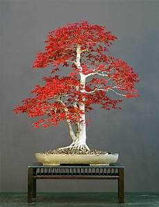 Ahorn Rote Blätter : wundersch ne bonsai baum kompositionen ~ Eleganceandgraceweddings.com Haus und Dekorationen