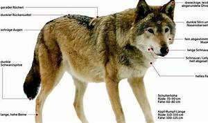 Woran Erkennt Man Tragende Wände : der wolf ist im aargau im anmarsch doch woran erkennt man ihn kanton aargau aargau az ~ Orissabook.com Haus und Dekorationen