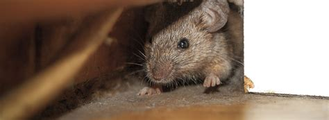 rat vs mouse what is the difference between a rat and a mouse rentokil