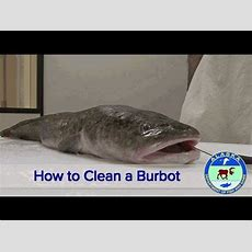 How To Clean A Burbot  Youtube