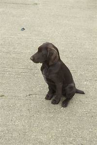 German Wirehaired Pointer Puppies For Sale   Daventry ...