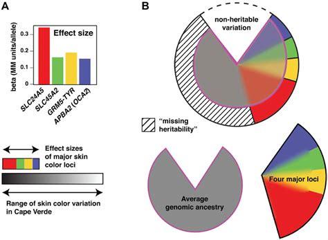 skin color genetics genetic architecture of skin color variation a effect