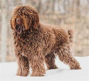 Barbet - French Water Dog - oldest French breed - K9 ...