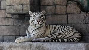 Papel Pintado Tigre Blanco, Gato, Rocas 2048x1152 ...