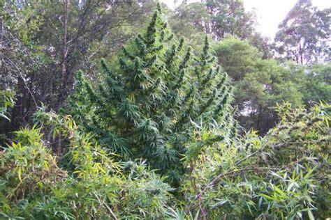 192 la recherche du cannabis immortel domhertz