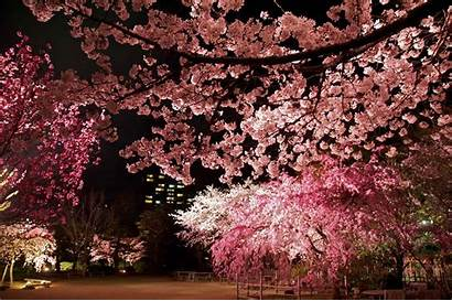 Blossom Cherry Blossoms Yozakura Night Garden Illuminated