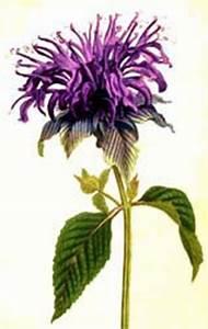 Wild Bergamot Seeds for the Witch's Garden from Alchemy Works