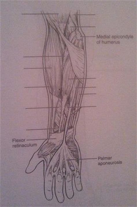 exercise gross anatomy of the muscular system flashcards easy notecards