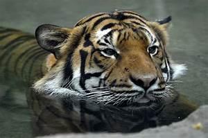 Malayan Tiger - Home