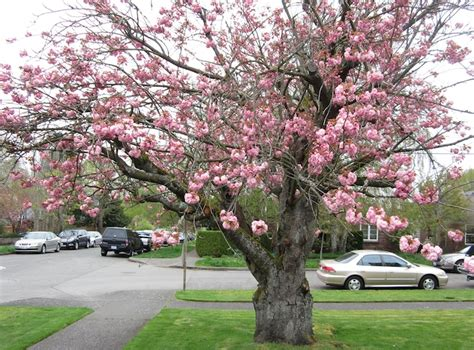 tree with pink flowers name names of flowering trees www pixshark com images galleries with a bite