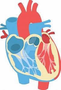 Human Heart Diagram By Classy