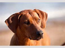 Rhodesian Ridgeback Puppies Dorset Rhodesian Ridgeback