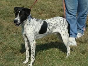 australian cattle dog pointer spaniel mix | Breed: Pointer ...